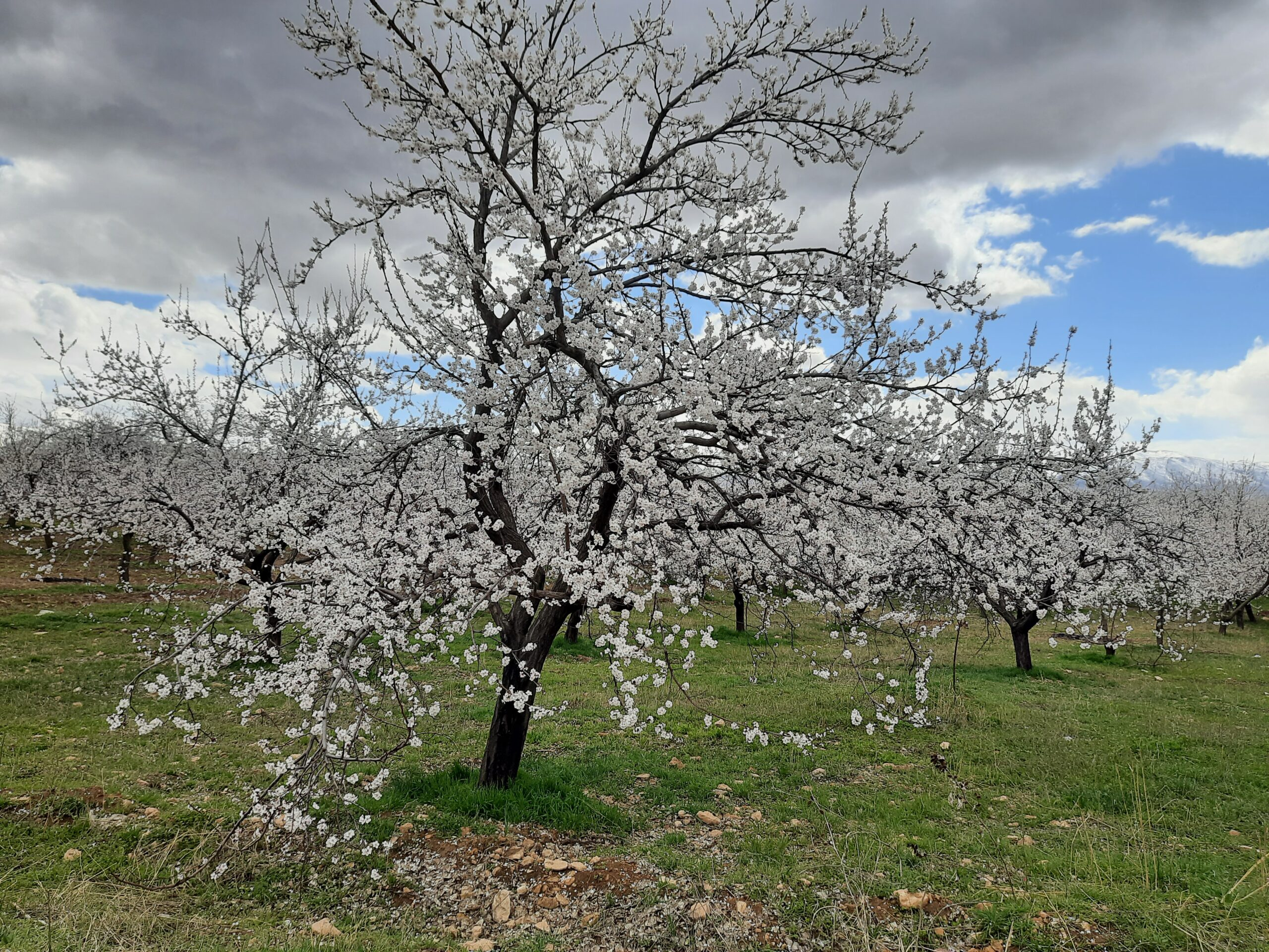 Spring in Malatya-The Apricot Trees have blossomed