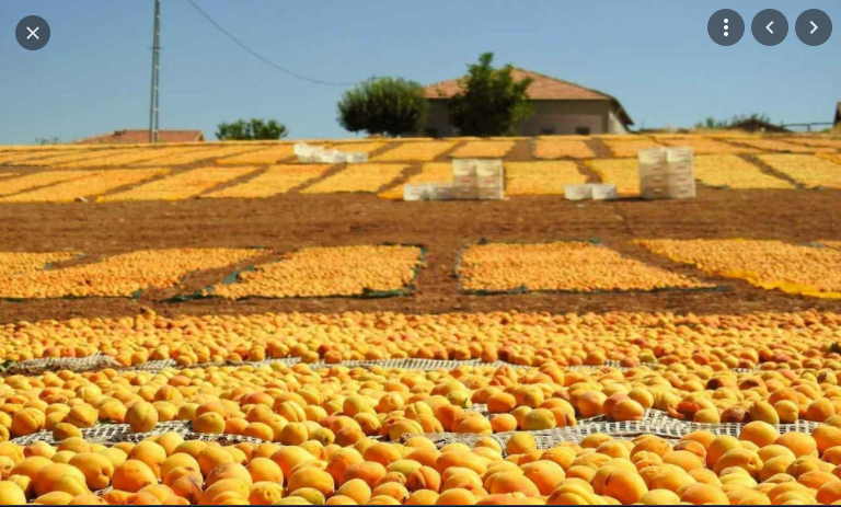 How will this year's harvest affect dried apricot exports? Apricot Harvest of 2021 has Started.